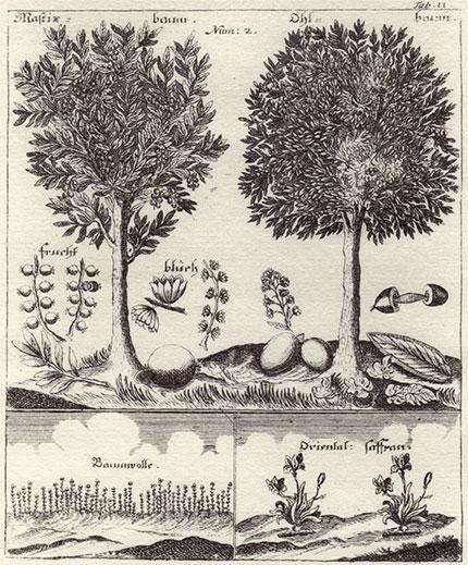 pistacia-lentiscus